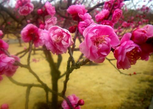 圧倒的な品種数を誇る小さな梅園(フラワーガーデン)