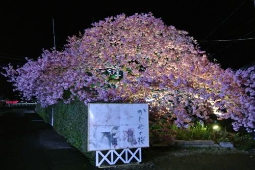2012年3月 白田温泉から河津桜・吊るし雛 [1部] 夜桜