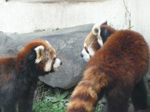 『ひらパー』でレッサーパンダコミュのオフ会に飛び入り!