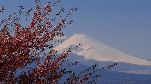 韮山の河津桜と菜の花・・・伊豆の国市。