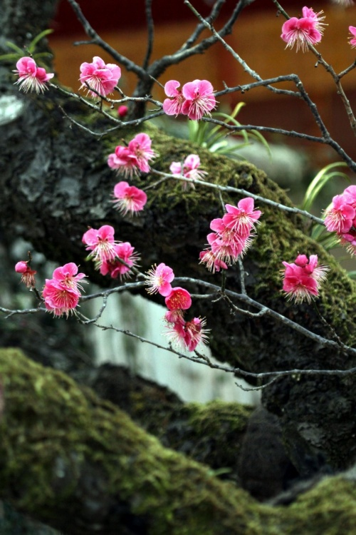 Solitary Journey [1012] グッドタイミングでした!太宰府天満宮で梅の花満開~♪<境内に咲く白梅・紅梅&飛梅>福岡県太宰府市