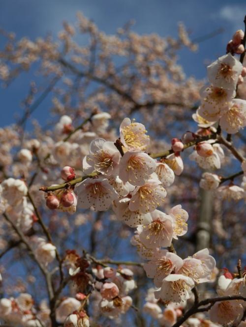 3月25日(日)、水戸偕楽園の梅がやっと7分咲きになったということ、JR偕楽園臨時駅に、電車が今日までは停車すること、ライトアップが今日まで延期されたこと、今日は天気もよさそう・・という条件が揃ったので、いよいよ今年も、偕楽園の梅を観に行くことにしました。<br /><br />昨年は、でかけようと予定していたら、大震災が発生してしまい、それどころではなくなったけれど、今年で、3回目くらいの偕楽園の梅鑑賞です。<br /><br />期間限定でライトアップもされ、今までも気にはなっていたものの、夜まで粘る気力もなかったので、観たことがなかったのですが、今年は、少し遅めに出て、ライトアップも楽しんできました。
