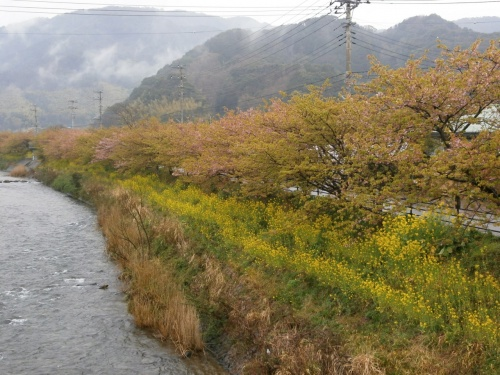 河津の葉桜見物