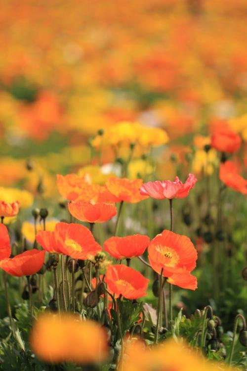 南房総/館山ぐるり旅【11】~極彩色に咲き乱れるポピーフェスティバル~館山ファミリーパーク2012