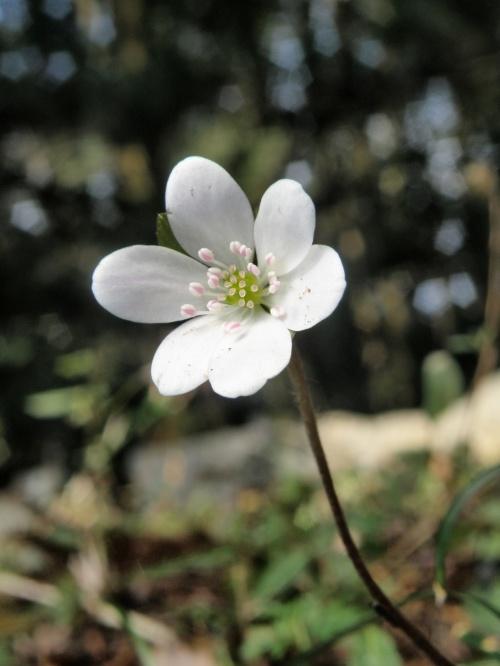 可憐な春の妖精・雪割草咲く草間台地