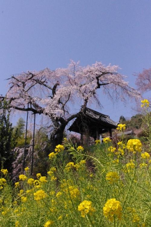 京都 高台に咲く井手町・地蔵禅院の枝垂れ桜(円山公園の兄弟姉妹木)を愛でる
