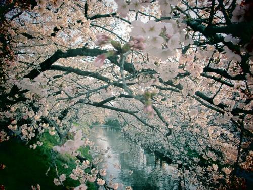 子どもと一緒に行く、岩倉・五条川の桜並木
