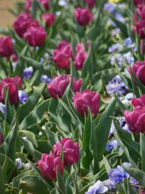 純和風なソメイヨシノと、あけぼの山農業公園のお花畑