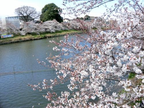 蓮田☆見沼代用水路&元荒川の桜