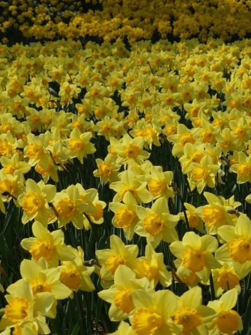 白や黄色のスイセンのじゅうたんと、色彩鮮やかなチューリップ畑が目に焼きついた~!!