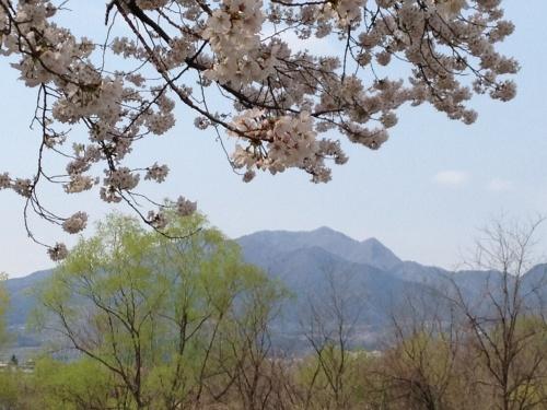 渋川の知られざる桜並木♪