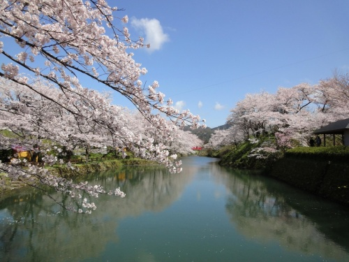 鳥取鹿野城跡の桜満開