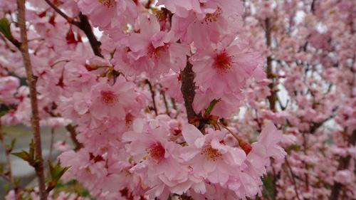 桜の品種で「くまがい」と云う小彼岸桜の八重咲きの... 桜の品種で「くまがい」と云う小彼岸桜の八