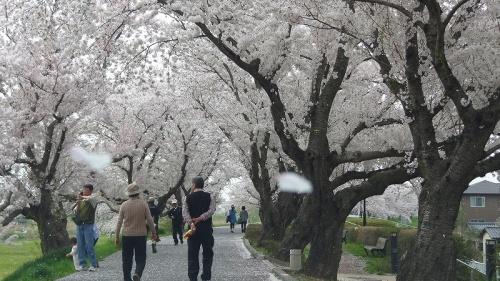 土浦市 夏服を買った後で、桜川堤をドライブして花見