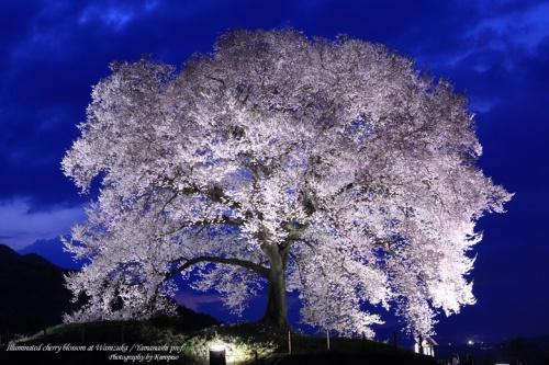 わに塚の桜(王仁塚の桜/わにづかのさくら)のライトアップ /山梨県韮崎市