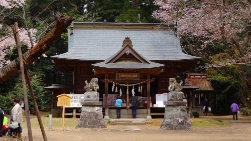 桜川市 磯部稲村神社境内の桜花撮影