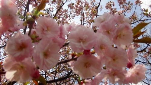 結城市 日本花の会結城農場 品種別桜花図鑑 下巻