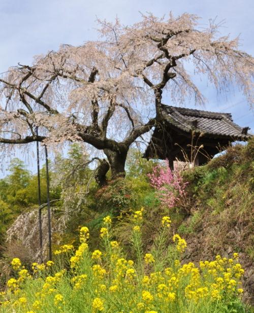 菜の花と桜のコラボを楽しもう 観音寺・地蔵禅院のほほん記