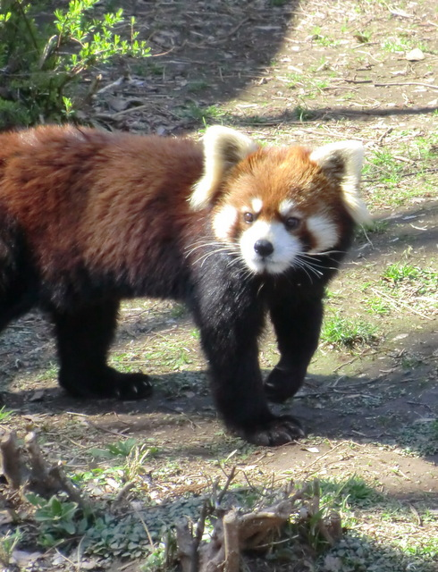 なんて可愛いの~♪ 市川市動植物園のレッサーパンダたち