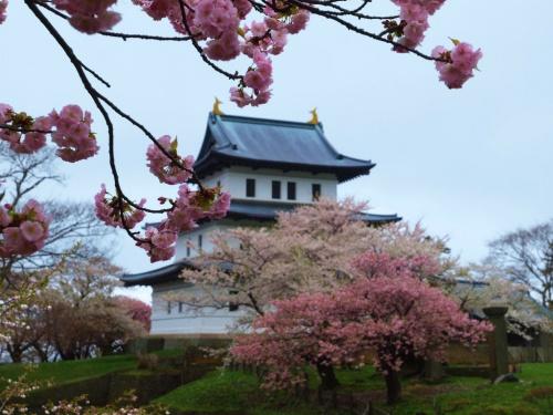 ツアーで巡る北海道の桜−1  松前公園 桜満開 戸切地陣屋跡はまだ蕾