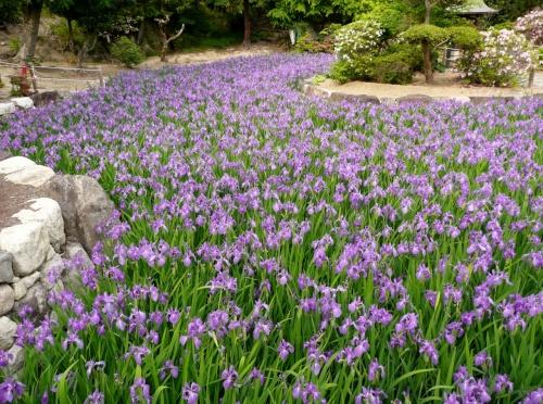 池を埋め尽くす多聞寺のカキツバタ