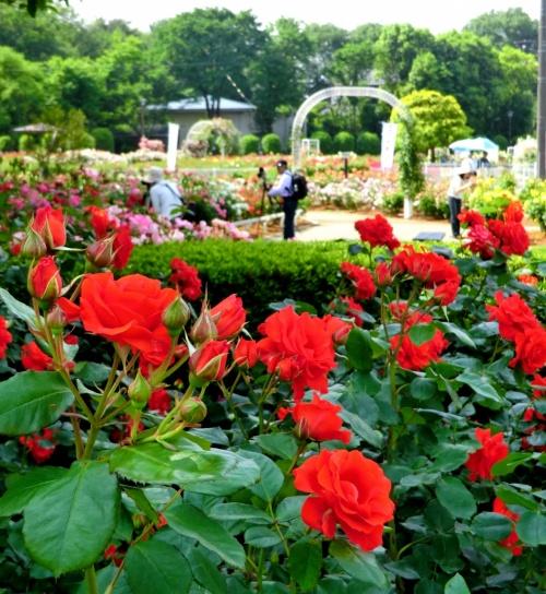 五月の薔薇☆ 埼玉・伊奈ばら園散策♪