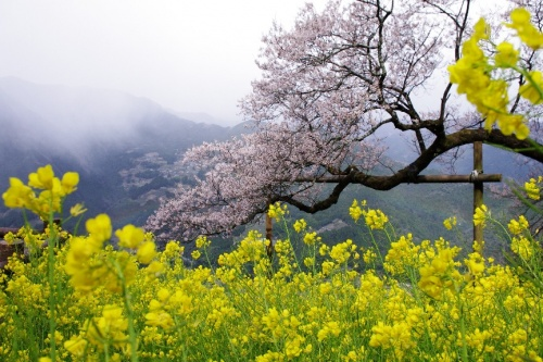 ひょうたん桜を愛でに。