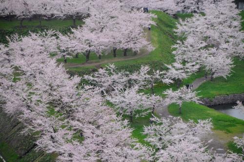 【300冊記念】春の妖精舞う北海道へ【4】~五稜郭の桜~