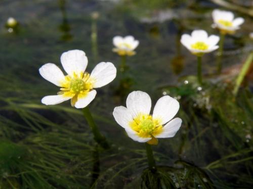 但馬花紀行① 白い清らかな花が水面に咲き誇る田君川のバイカモ