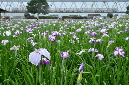 小岩菖蒲園に雨中に咲く花菖蒲を見に訪れてみた