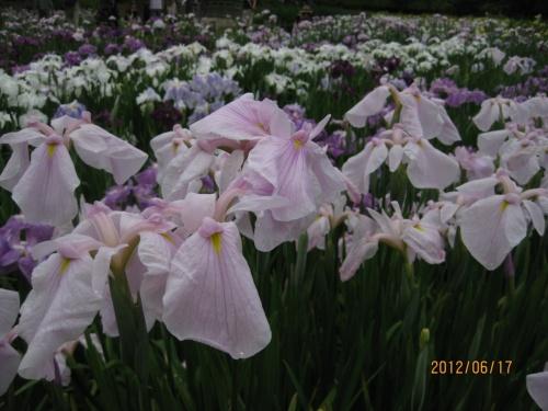 梅雨空に映える花菖蒲を求めて・・・四季の里公園をぶら~り♪
