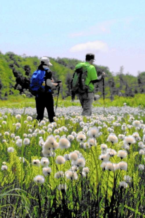駒止湿原に『ワタスゲ』群生を見に行く