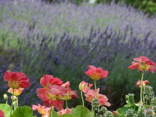 猛暑日に、紫のラベンダーと真っ白のアナベルで、ちょっとだけ涼しげ?