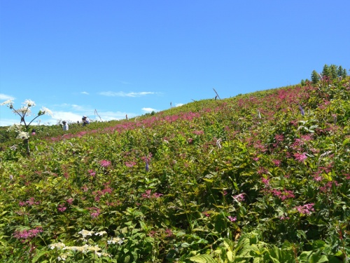 伊吹山のお花畑