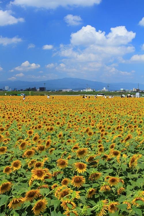 岐阜 大垣と羽島のひまわり畑
