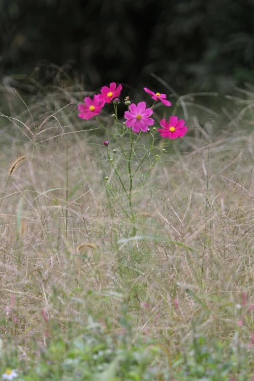 Solitary Journey [1109] 秋の花をさがして♪<秋風に揺れる可憐な'コスモス'と真っ赤な曼珠沙華'彼岸花'>広島県東広島市