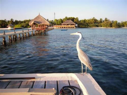 Eriyadu Island Resort <br />(2012年10月04日現在の情報です。情報は予告なしに変更されますので、予めご了承ください。GSTは2013年1月から8%になります。)<br /><br />2011年6月にスイミングプール完成と共にバーが新しくなりました。<br />また、10月にはデラックスルームが10部屋できました。)<br /><br />『わ〜ラグーンが綺麗!』桟橋から見るラグーンはマリンブル〜〜〜。<br />素朴な島にヒョイと見える、素敵なバー&スイミングプールは新鮮なイメージです。<br />島に上陸すると、木々が多く飾らないモルディブの雰囲気で、カジュアルに過ごせます。<br />お部屋数も66部屋と、島のサイズも丁度よい。<br /><br />北マーレアトールの北部に位置する島。空港からスピードボートで約55分。<br />夜は星空を眺めながら、日中は綺麗な景色を眺めながらの移動です。<br />リゾートと空港間には、いろんなリゾートもあるので、通り過ぎるのも面白い。<br /><br />桟橋ではスタッフがお出迎えしてくれます。<br />レセプションでチェックインをし、お部屋の鍵をいただきます。<br />リゾートインフォメーション、リゾートの地図があるので安心。<br /><br />島の雰囲気<br />ラグーンの中にリーフエッジまで延びた桟橋…。真っ白い砂のビーチがとても印象的!<br />桟橋先端には時々イルカが通り、Happy雰囲気にしてくれます。<br />広いビーチでは、日焼けを楽しまれている方もいます。<br />ハウスリーフが良く、ダイバー&スノーケラーに人気のリゾートなのでドイツ人の方が多い。島内は静かでダイビングに行かれているか、お部屋の前で読書を楽しまれ、のんびりとした贅沢な時間を過ごされています。<br />緑に囲まれた島の中には、1棟2部屋のビーチバンガローが並んでおり、お部屋の後ろ側に通路があるので、お部屋の前は意外とプライバシーがあるので居心地もよい。<br />海が一望できるスイミングプール!スロープ式になっているのでファミリーの方にはお子様と一緒に過ごしていただける場所です。プールサイドにはサンチェア&パラソルがあります。海を眺めているだけで満足できるリラックス感に味わえる島…。<br />夕方になると、バーのテラスには人が集まり、サンセットを眺めながら会話を楽しまれています。<br /><br />ハウスリーフでのスノーケリング…<br />ドロップオフに出るパッセージが5箇所にあるので、スノーケリン&ハウスリーフダイブをされる方にはとても便利!<br />パッセージの目印は、ブイ又はポールがドロップオフ沿いにあります。<br />魚&魚の種類も多いのが売りのハスリーフです。<br />大物&小物&群れ物まで盛り沢山でテーブル珊瑚&枝珊瑚も綺麗!<br />パウダーブルーも群れています。<br />ドロップオフはなだらかで泳ぎやすく、ドロップオフまで遠くはない。<br />カメ、パロットフィッシュ、ヨスジフエダイ、サメ、コバンサメ、ウツボ、マダラトビエイ、カスミアジアジ、ロウニンアジ、カスミアジ、マグロ、ハタタタテダイ、エイ、パウダーブルー、ナポレオン、ニシキヤッコ、タテジマキンチャクダイ、ヒレナガハギ、その他、沢山の魚がいます。<br />その他...種類は多いので写真を撮られる方には嬉しいハウスリーフ。<br />ドロップオフまでの浅瀬でも、珊瑚が広がっていて魚が多く、光が入るので綺麗です。<br /><br />地図を参考にされてください。<br />パッセージがある場所<br />ダイビングセンターの裏、メインの桟橋、お部屋番号110辺り、お部屋番号130辺り、お部屋番号152辺り<br /><br />ダイビングセンターの裏:ボート停泊する時もありますので、ボートにはお気を付けください。<br />リーフを左肩にしてメインの桟橋方向に泳いだ場合<br />            浅瀬には群れている魚がいます。パウダーブルーもいました。<br /><br />メインの桟橋:ボート停泊する時もありますので、ボートにはお気を付けください。<br />       桟橋下に群れている魚がいます。<br />       リーフを左肩にしてバー方向に泳いだ場合。<br />       コーナーのところは、リーフが広くなります。<br />       サメ、ウツボ、カスミアジなど少し大きめの魚がいます。<br />                <br />お部屋番号110番辺り:リーフを左肩にしてお部屋番号130番方向に泳いだ場合。<