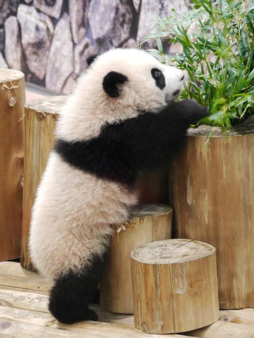 2013初旅 vol.3/アドベンチャーワールド/赤ちゃんパンダの愛らしさにやられました(ё_ё)