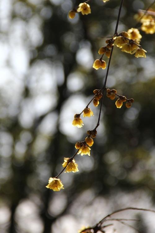 冬の植物園は清々しく気持ちいいです。<br />そして何と言っても香りがいい。<br />蝋梅。<br />とても良い香りです。<br />落ちていた蕾を拾って帰りました。暫く楽しませてくれるでしょう。<br />冬木立ちも綺麗だし温室は暖かい(当然)冬の植物園も素敵です。<br />珍しい植物を見る事もできましたが、こちらはもっと寒い朝にリベンジします。<br /><br />駅から岡電バスで理大東門行きに乗ると植物園の前に停まります。三野行きに乗ると植物園口より次の水源地の方が近いです。どちらも朝・夕以外は天満屋さんからも乗る事が出来ます。<br />宇野バスも通ってます。<br /><br />開園時間 9時〜16時