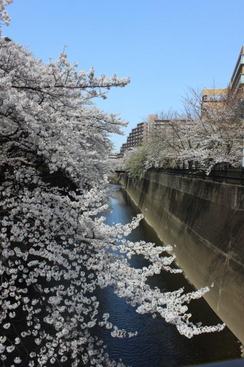 2013年NAMYのお花見探訪 PART2 石神井川編