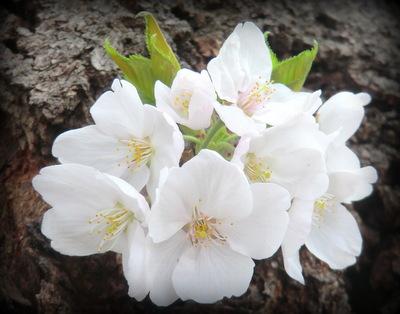 東京千鳥ヶ淵の桜情報♪ 新たにオープン「KITTE」にも。