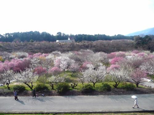 三重県の梅を巡る!  桜もね。
