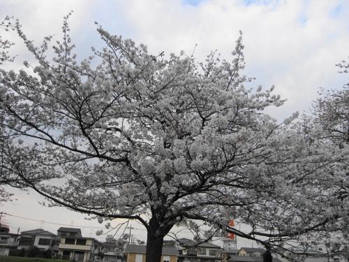 ビアンキFRETTA☆綾瀬川の桜も早く咲いた☆2013/03/23