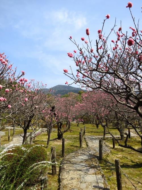 子どもと一緒に歩く、はねず色に染まる隋心院・小野梅園