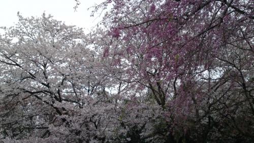 桜をたずねて2013春④母智丘(もちお)
