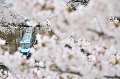 満開な山北の桜並木に再び訪れてみた