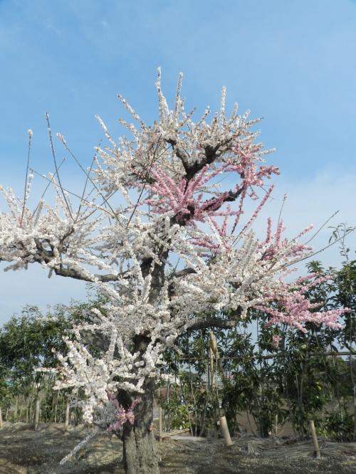 『鈴鹿の森庭園』の枝垂れ梅◆鈴鹿でプチオフ会≪その2≫