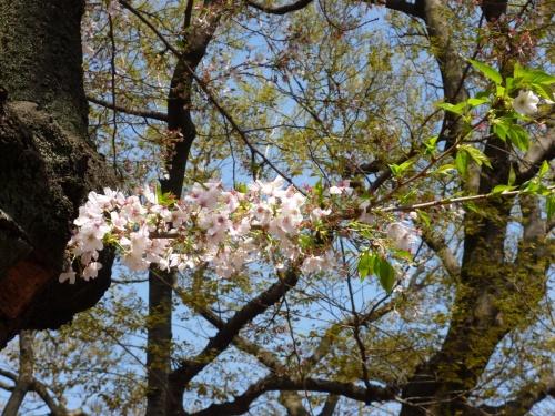 東京散歩♪ ⑧ ~春の嵐のあと~白金の桜&ラトリエコッコ