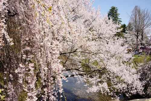 信州上田 朝の天気予報を見て出かけました お城には「さくら」が良く似合います
