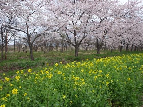 大潟の桜と菜の花ロード&男鹿温泉 石焼料理の夕食